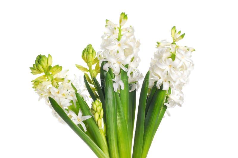 美丽的白色风信花花,隔绝在白色背景 免版税库存图片