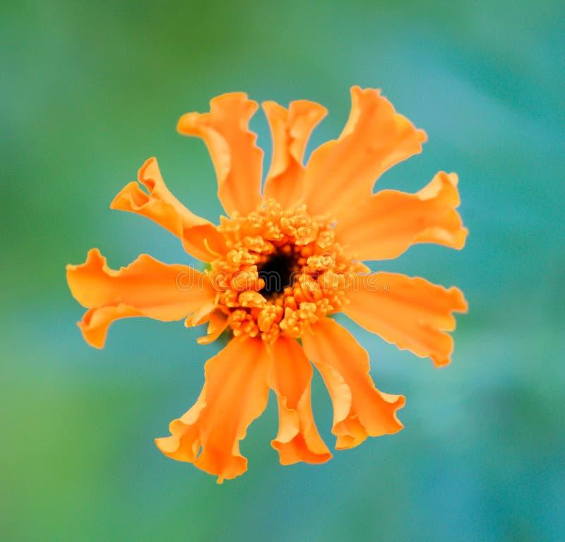 在白色背景隔绝的美丽的精美橙色万寿菊花 免版税库存图片