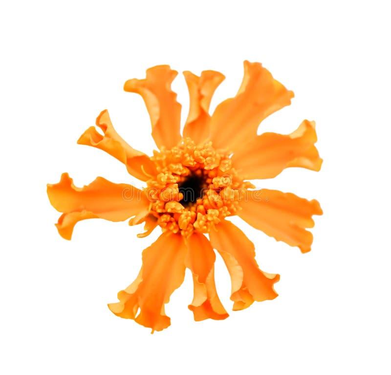在白色背景隔绝的美丽的精美橙色万寿菊花 免版税库存照片