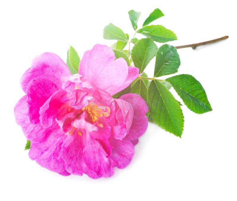 在白色背景隔绝的美丽的软的桃红色玫瑰 免版税库存照片