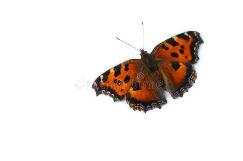 在白色背景隔绝的美丽的黑脉金斑蝶 库存图片
