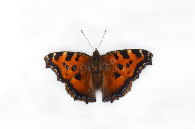 在白色背景隔绝的美丽的黑脉金斑蝶 免版税库存图片