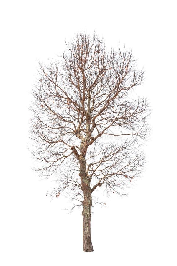 老和死的树 库存图片