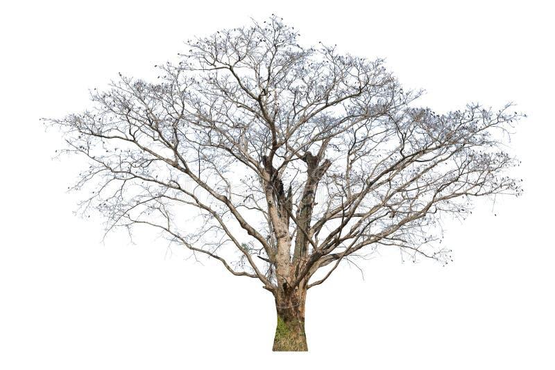 在白色背景隔绝的老大树死者 免版税图库摄影