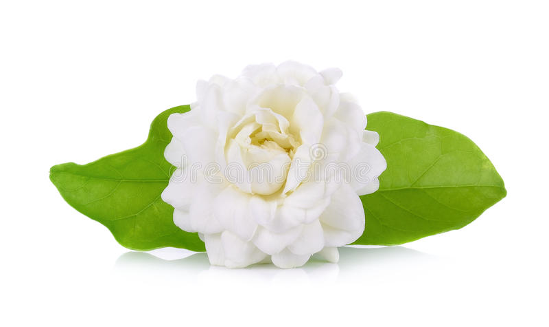 在白色背景隔绝的茉莉花花 免版税库存图片