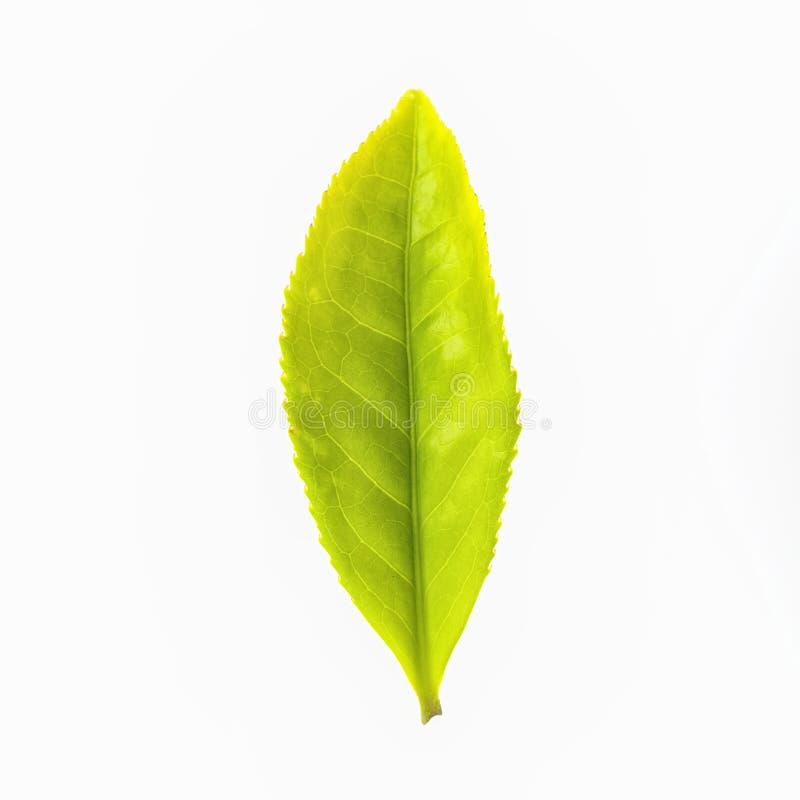 在白色背景隔绝的茶叶 免版税库存照片