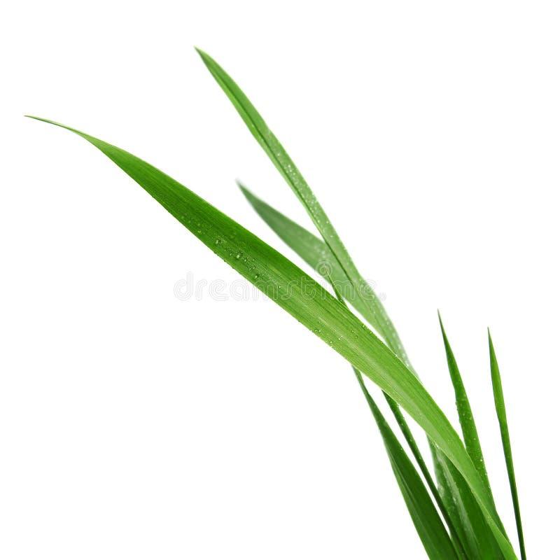 在白色背景隔绝的草叶 免版税库存照片