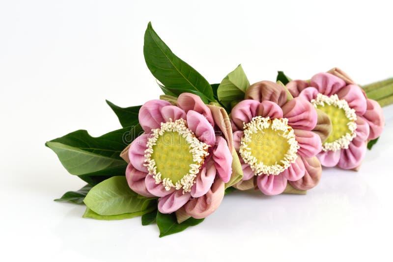 在白色背景隔绝的被折叠的桃红色莲花 免版税图库摄影