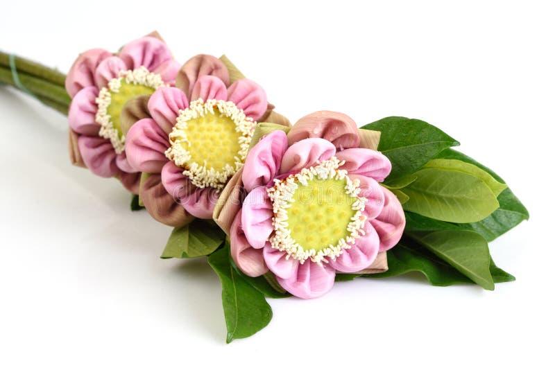 在白色背景隔绝的被折叠的桃红色莲花 免版税库存照片