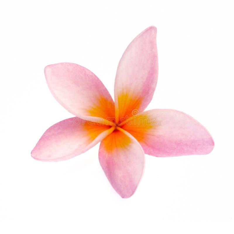 在白色背景隔绝的赤素馨花花 库存照片
