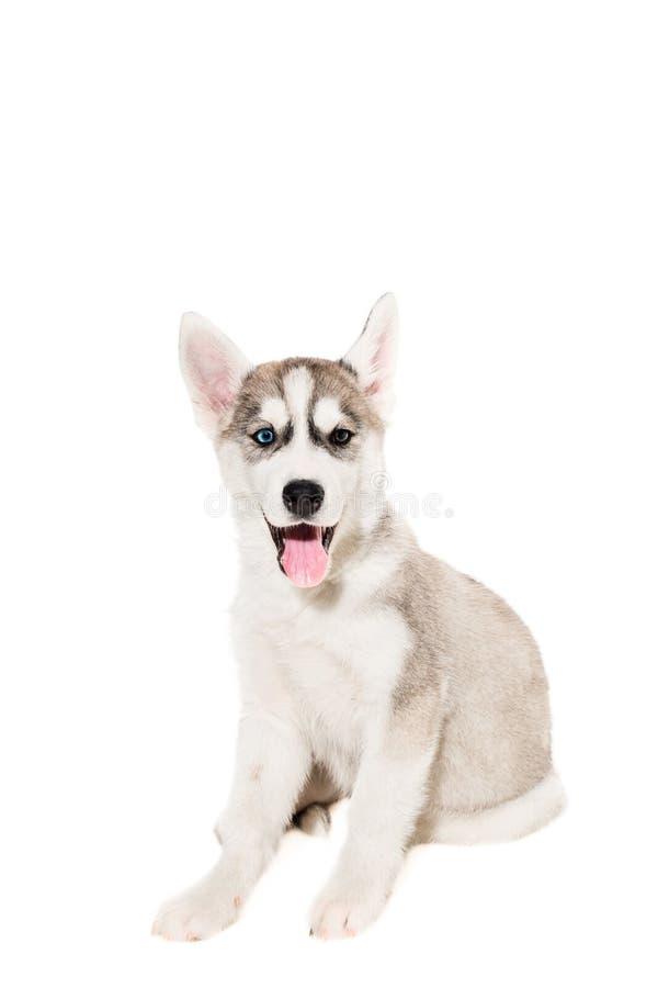 在白色背景隔绝的逗人喜爱的矮小的多壳的小狗 库存照片