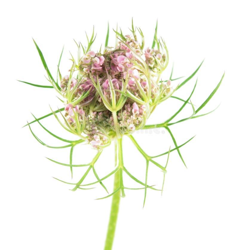 在白色背景隔绝的野胡萝卜花 药用植物 库存照片