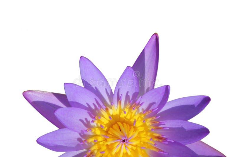 在白色背景隔绝的顶视图半特写镜头美丽的紫色荷花 库存图片