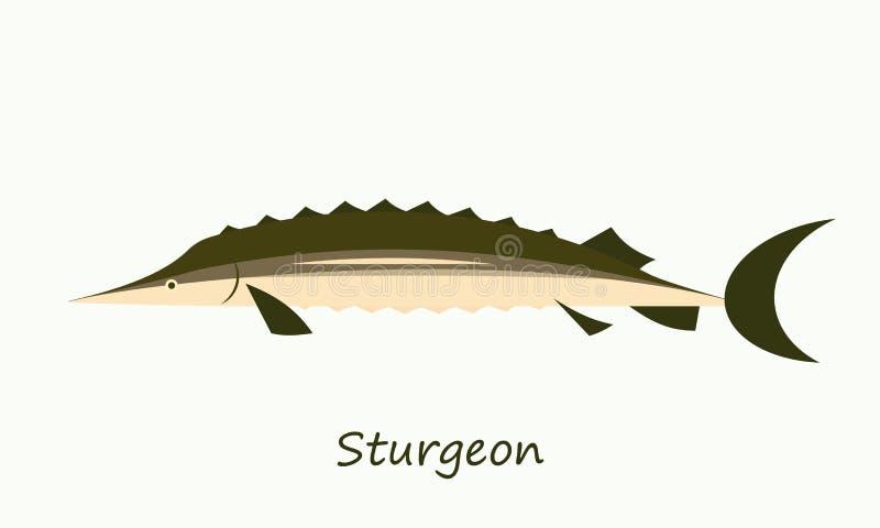 在白色背景隔绝的鲟鱼鱼 库存例证