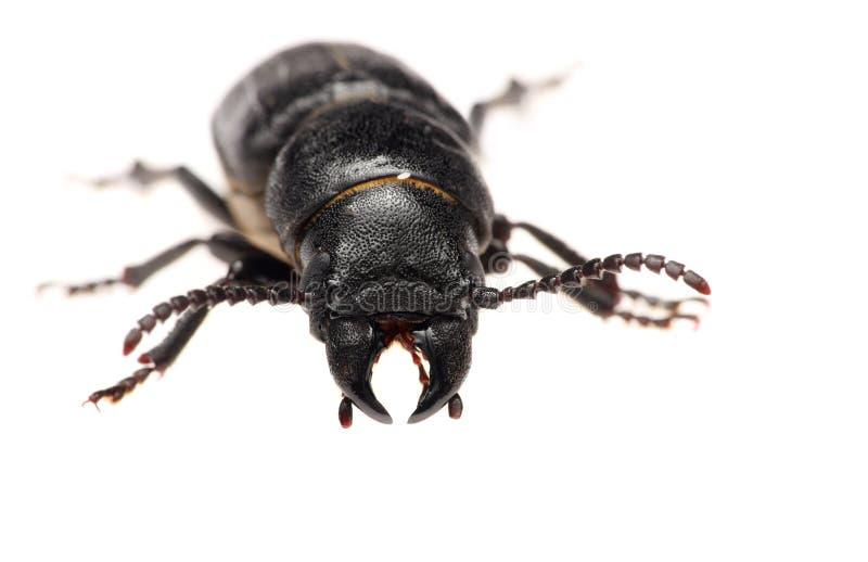 在白色背景隔绝的黑甲虫 宏指令 免版税库存图片