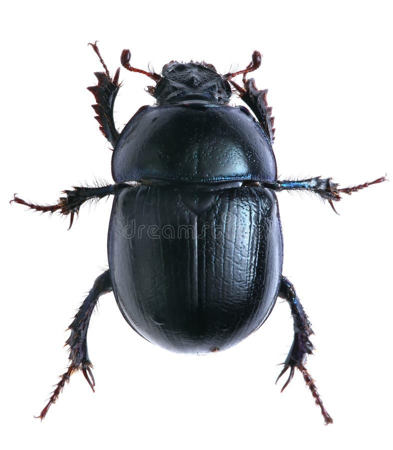 在白色背景隔绝的黑甲虫 宏指令 图库摄影