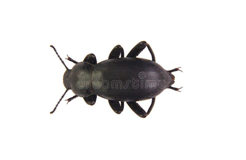 在白色背景隔绝的黑甲虫 免版税图库摄影