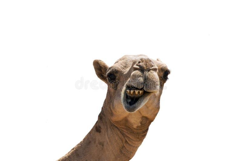在白色背景隔绝的滑稽的看起来的微笑的骆驼 库存照片
