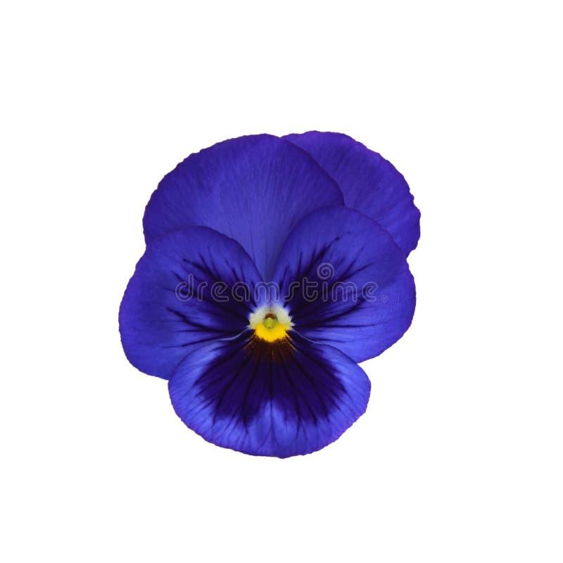 在白色背景隔绝的紫罗兰 免版税库存图片