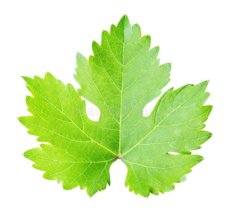 在白色背景隔绝的绿色叶子葡萄 图库摄影