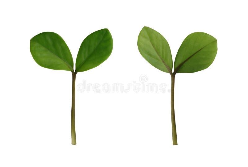 在白色背景隔绝的绿色新芽树 库存图片