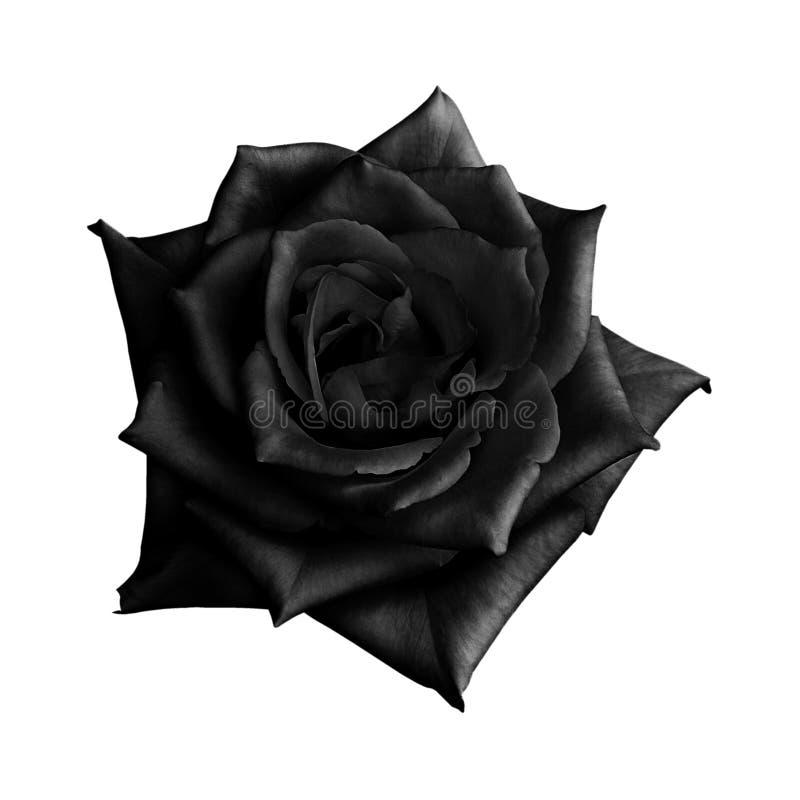在白色背景隔绝的黑色玫瑰 免版税库存照片