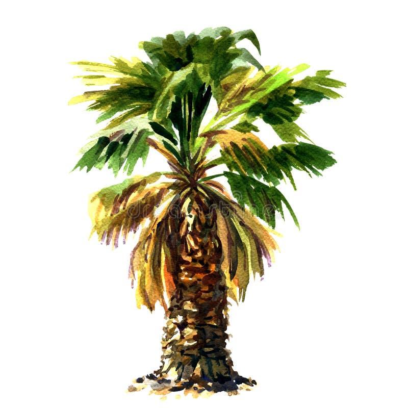 在白色背景隔绝的绿色美丽的棕榈树 皇族释放例证