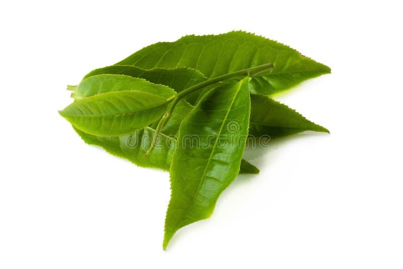 在白色背景隔绝的绿色茶叶 免版税库存图片