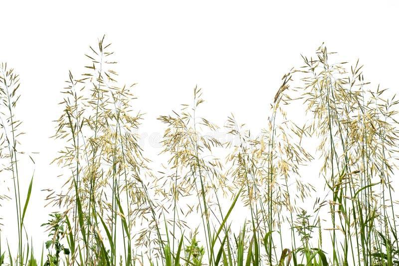 在白色背景隔绝的绿色长的草 免版税库存照片