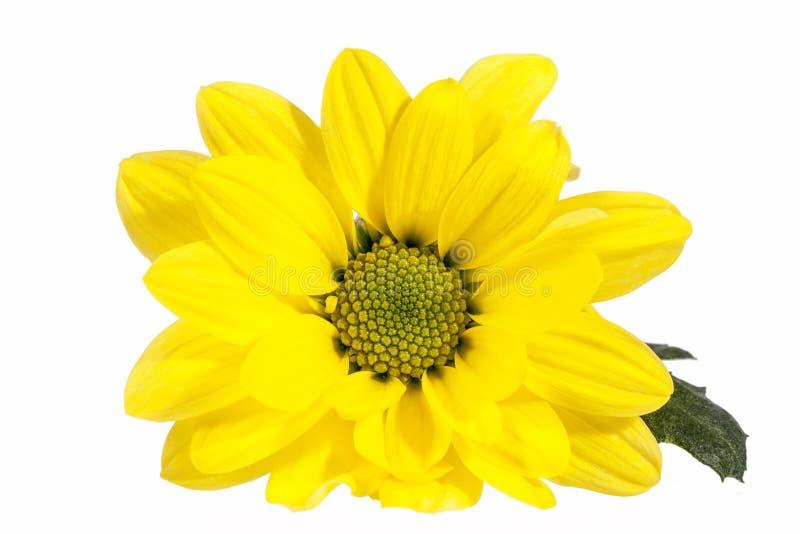 在白色背景隔绝的黄色延命菊花 库存图片