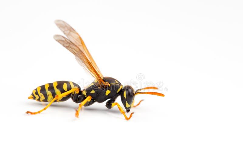 黄蜂 库存图片