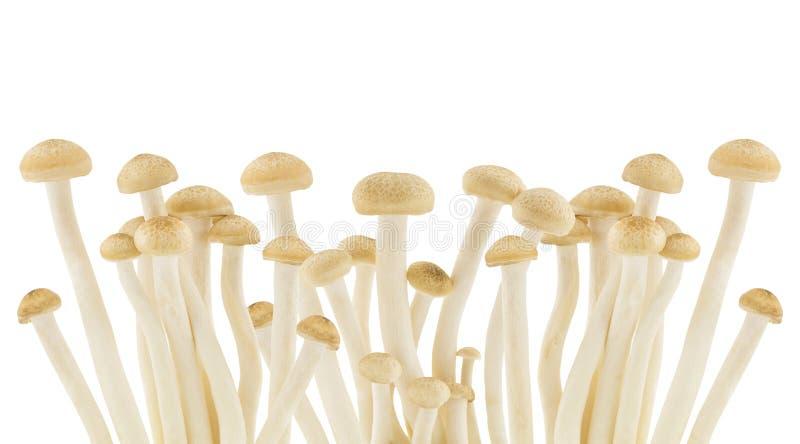 在白色背景隔绝的Shimeji蘑菇 库存照片