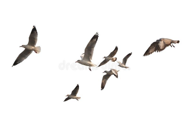 在白色背景飞行隔绝的鸟群 这有cli 免版税库存照片