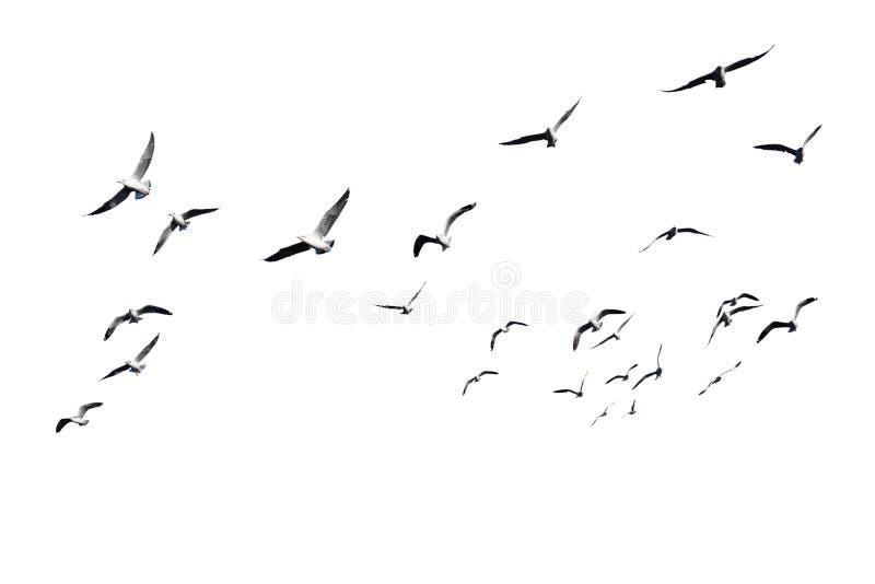 在白色背景飞行隔绝的鸟群 库存照片