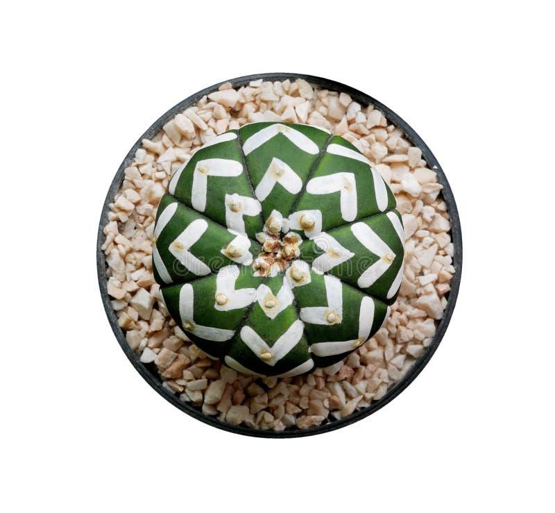 在白色背景黑塑料罐顶视图的绿色多汁仙人掌花植物隔绝的,裁减路线 免版税库存图片