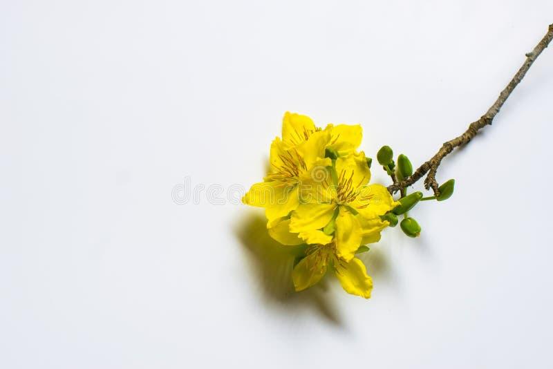 在白色背景,传统月球新年的黄色杏子花在越南 图库摄影