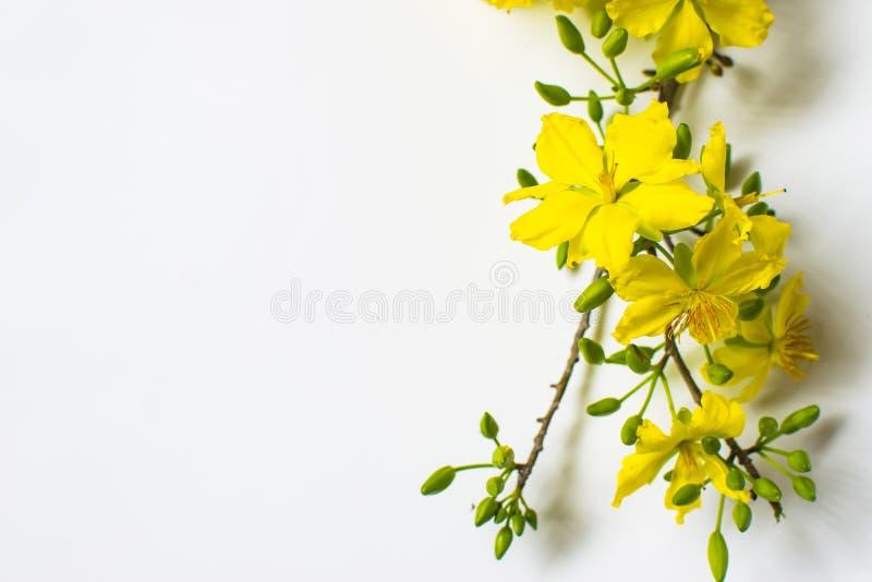 在白色背景,传统月球新年的黄色杏子花在越南 免版税库存照片