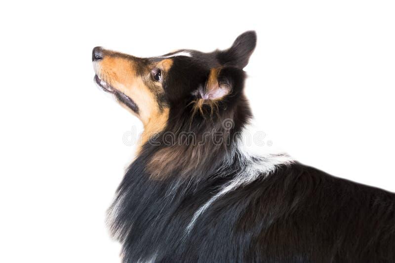 在白色背景,正面图,裁减路线的设德蓝群岛牧羊犬孤立 免版税库存照片