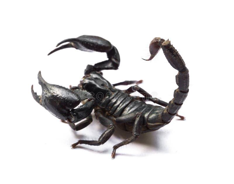 在白色背景,毒动物的蝎子 免版税库存照片