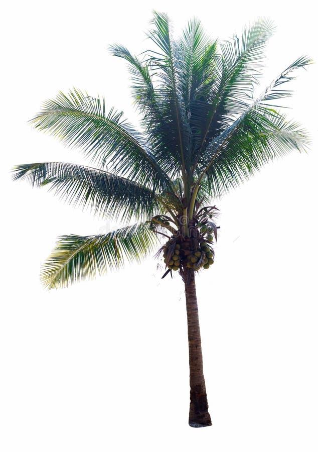 在白色背景, coconu棕榈树的冠的椰子树  免版税库存照片