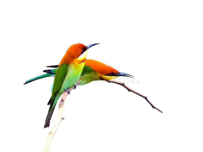在白色背景(栗子带头的食蜂鸟)隔绝的鸟 免版税库存图片