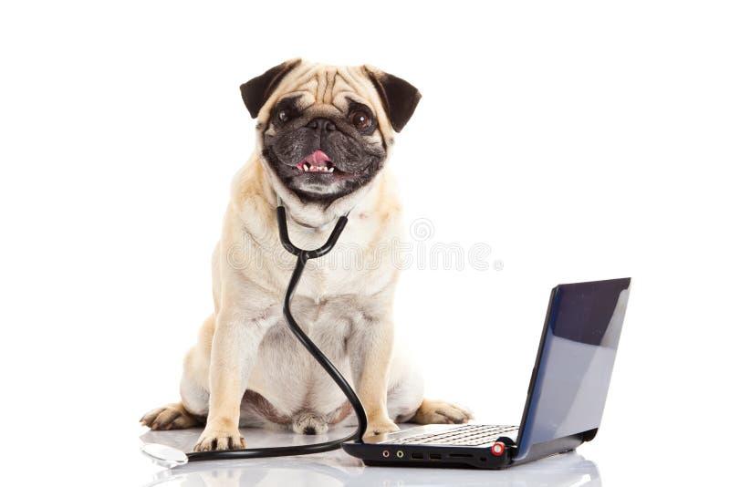 在白色背景医生mit膝上型计算机隔绝的哈巴狗狗 免版税库存图片