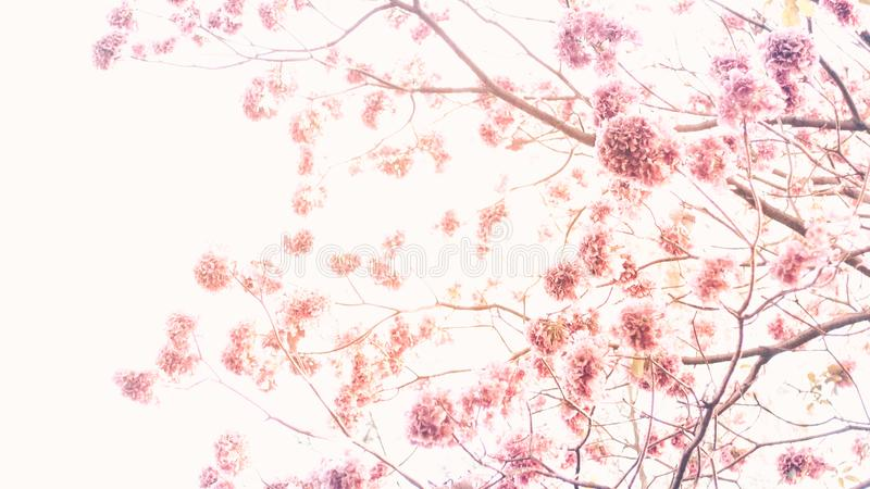 在白色自然背景春天夏季隔绝的桃红色樱花 图库摄影