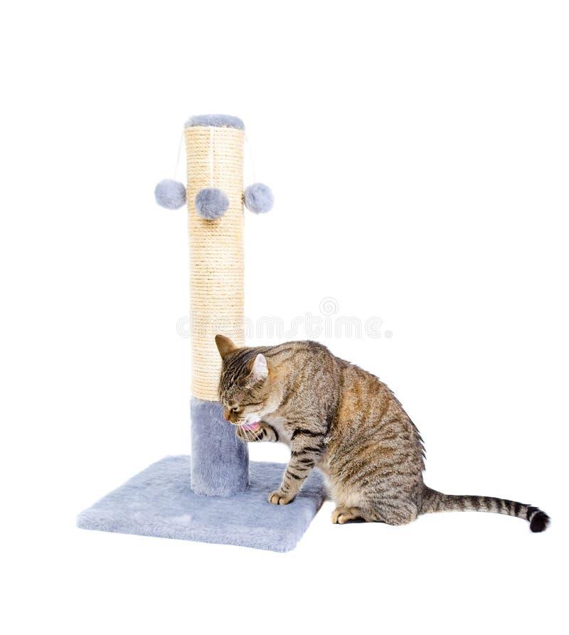 在白色舔了开会隔绝的猫 免版税图库摄影