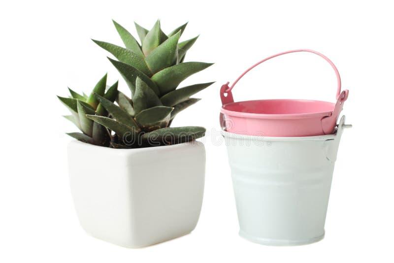 在白色花盆和两个小桶的多汁植物 图库摄影