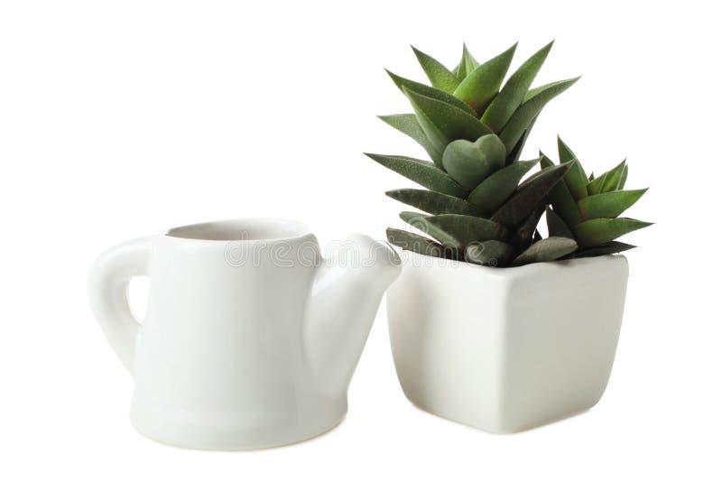 在白色花盆和小的茶壶的多汁植物用水 库存照片