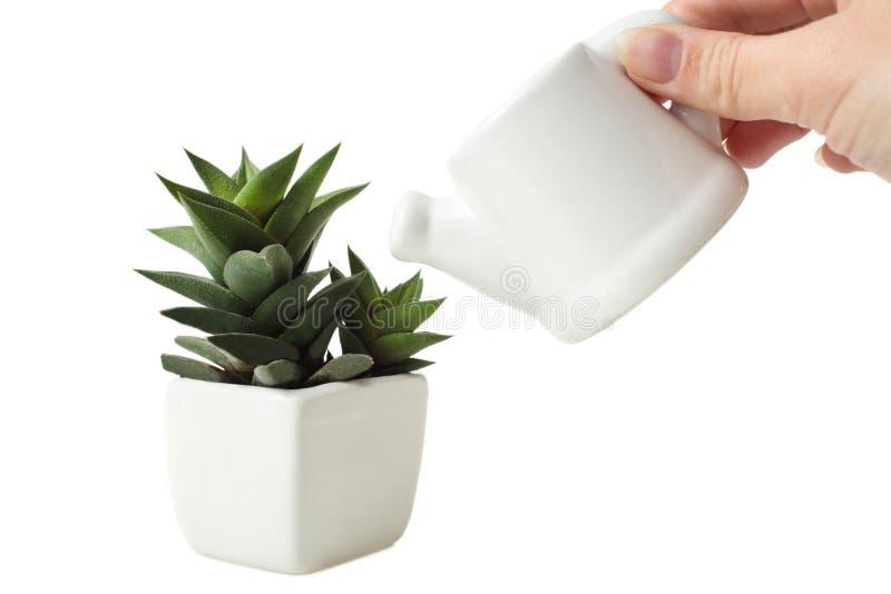 在白色花盆和小的茶壶的多汁植物用水 库存图片