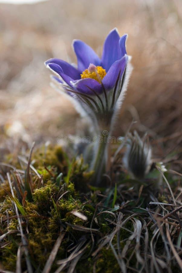 在白色草宏指令射击的紫色花 免版税库存照片