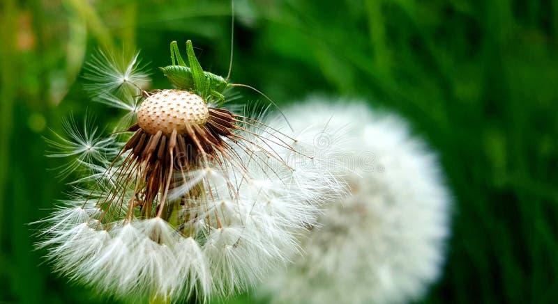 在白色蒲公英特写镜头的绿色蚂蚱 绿草在背景中 免版税图库摄影