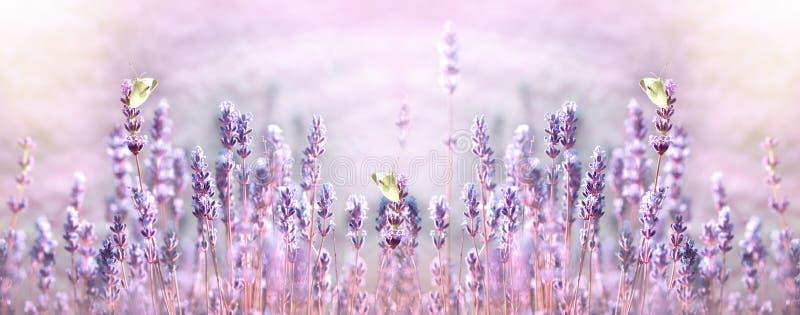 在白色蝴蝶的选择聚焦在淡紫色花 库存照片